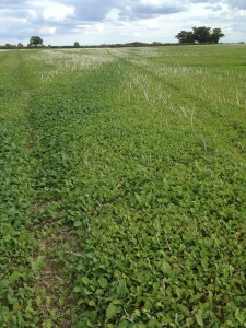 Cover crops in Autumn 2014 with quality soil